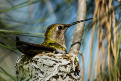 Hummingbird on Nest. Female hummingbird, siting on her nest made of lichen and spider's web high in a conifer tree Stock Photo