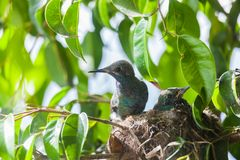 Hummingbird in the nest with her mother. At tree stock images