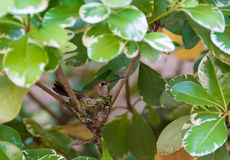 Hummingbird in the Nest Stock Images