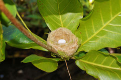Hummingbird nest with one egg Stock Photography