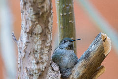 Hummingbird in Nest. Ready to lay eggs royalty free stock image