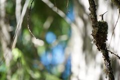 Hummingbird in nest. View of mother hummingbird in her nest on the branch of a conifer tree Royalty Free Stock Image