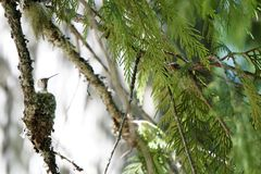 Hummingbird in nest. View of mother hummingbird in her nest on the branch of a conifer tree Stock Images