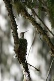 Hummingbird in nest. View of mother hummingbird in her nest on the branch of a conifer tree Stock Photography