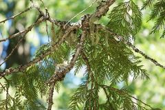 Hummingbird in nest. View of mother hummingbird in her nest on the branch of a conifer tree Royalty Free Stock Photo