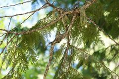 Hummingbird in nest. View of mother hummingbird near her nest on the branch of a conifer tree Stock Image