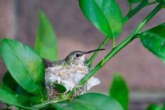 Hummingbird nesting Royalty Free Stock Photo