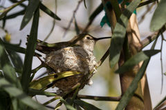 Hummingbird nesting Stock Photos