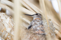 Hummingbird nesting Royalty Free Stock Photos