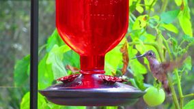 Hummingbird. In Northern Florida outdoors beauty in nature stock footage