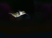 Hummingbird nur Zdjęcia Stock