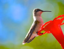 Hummingbird obsiadanie na dozowniku Zdjęcia Stock