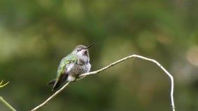 Hummingbird obsiadanie na małym winogradzie zbiory wideo
