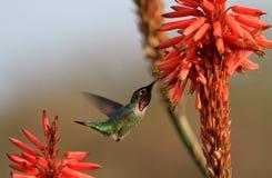 Hummingbird- och aloeblommor Fotografering för Bildbyråer