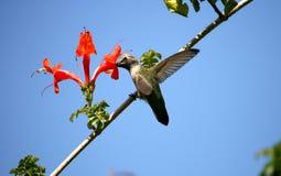 Hummingbird och kaprifol Arkivfoton