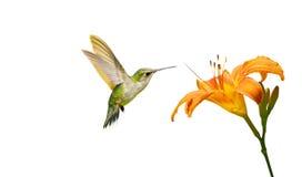 Hummingbird och lilja som isoleras. Royaltyfri Fotografi