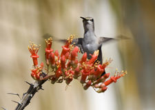 Hummingbird Ocotillo Blossom Royalty Free Stock Images