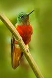 Hummingbird od Peru Pomarańcze i zieleń ptak w lasowym Hummingbird kasztanu Coronet w lasowym Pięknym hummin, Obrazy Royalty Free
