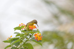 hummingbird, Olive-backed sunbird on flower Stock Photos