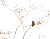 Hummingbird On A Dry Plant Royalty Free Stock Photography