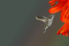 Hummingbird and Orange Flower Royalty Free Stock Images