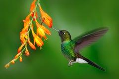 Hummingbird with orange flower. Flying hummingbird, Hummingbird in fly. Action scene with hummingbird. Hummingbird Tourmaline Suna. Ngel, Ecuador Stock Images