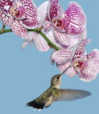 Hummingbird At Orchids Royalty Free Stock Photo