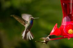 Hummingbird with outstretched wings,tropical forest,Peru,bird hovering next to red feeder with sugar water, garden. Clear background,nature scene,wildlife stock photo