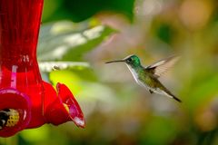 Hummingbird with outstretched wings,tropical forest,Peru,bird hovering next to red feeder with sugar water, garden. Clear background,nature scene,wildlife royalty free stock image