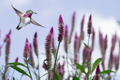 Hummingbird over background with purple flowers Stock Photo