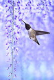 Hummingbird over background of purple wisteria Stock Photography