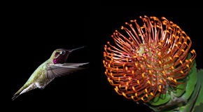 Hummingbird over black background with tropical flowers Royalty Free Stock Photos