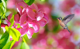 Hummingbird over blurred pink tropical flowers in background Royalty Free Stock Photo