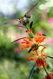 Hummingbird over Blurred Summer Background Royalty Free Stock Images