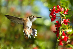 Hummingbird over green background Royalty Free Stock Photo