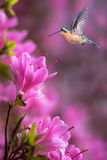 Hummingbird over pink flowers background Royalty Free Stock Photography