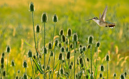 Hummingbird over summer background Stock Images