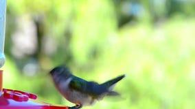 Hummingbird på en förlagematare stock video
