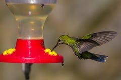 Hummingbird på förlagemataren Arkivbild