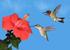 Hummingbird pair at a red Hibiscus Flower. A pair of Ruby- throated hummingbirds (Archilochus colubris) at a tropical hibiscus flower  with blue sky in the Royalty Free Stock Photo