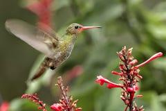Hummingbird. Pantanal, Brazil. Traveling on the Rio Negro Royalty Free Stock Photos