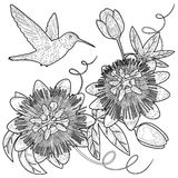 Hummingbird and Passiflora Coloring Page Stock Photography