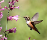 Hummingbird on pentstemon Royalty Free Stock Image