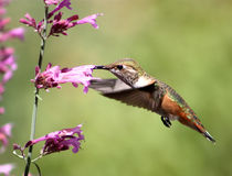 Hummingbird with pentstemon Stock Images
