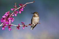 Hummingbird On Perch. Front View of Female Anna's Hummingbird Perched on Branch with Pink Blossoms Stock Photos
