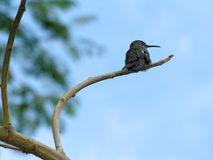 Hummingbird perched on branch Royalty Free Stock Photography