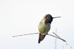 Hummingbird Perched on a Branch Stock Image