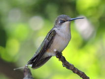 Hummingbird perched on branch. Hummingbird eyes closed resting on branch. Female.  Tennessee Stock Photography