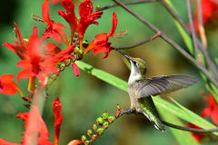 Hummingbird perched on crocosmia branch Stock Photography