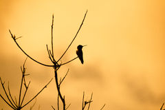 Hummingbird Perched on Dead Tree. Dramatic silhouette of a Hummingbird perched on a dead-looking bush or tree. Could be a scene from an apocalypse movie Stock Photo
